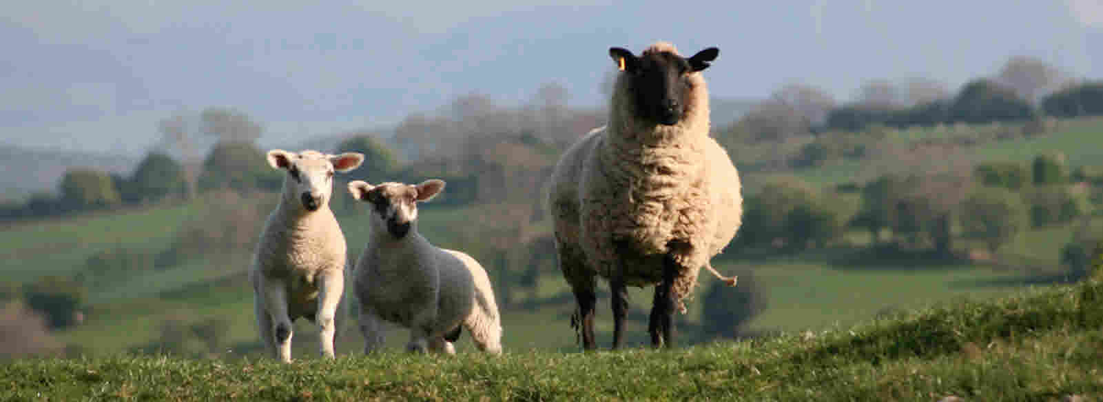 Shropshire Lambs